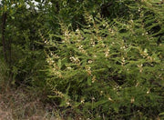 Acacia Arenaria - Indigenous South African Tree - 10 Seeds
