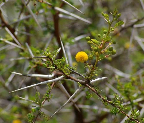 Acacia Exuvialis - Indigenous South African Tree - 5 Seeds
