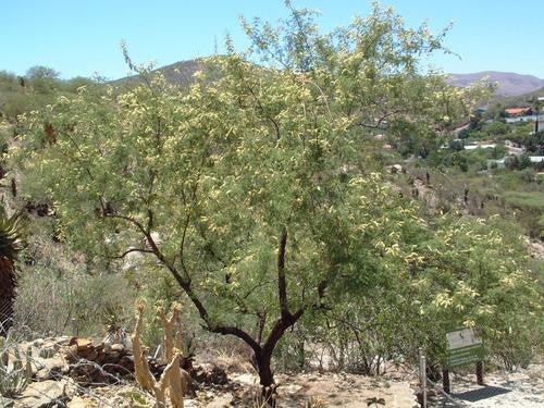 Acacia Hereroensis - Indigenous South African Tree - 10 Seeds