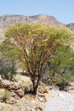 Acacia Montis-usti - Indigenous South African Tree - 10 Seeds