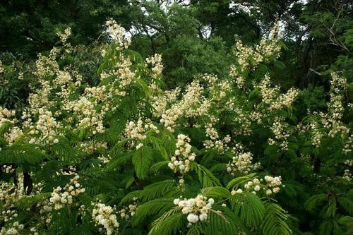 Acacia Schweinfurthii - Indigenous South African Tree - 10 Seeds