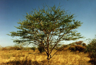 Acacia Senegal Leiorhachis - Indigenous South African Tree - 10 Seeds