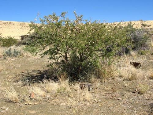 Acacia Senegal Rostrata - Indigenous South African Tree - 10 Seeds