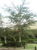 Acacia Xanthophloea - Fever Tree - Indigenous South African Tree - 10 Seeds