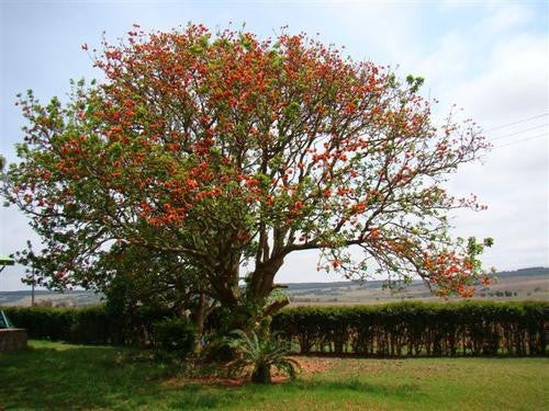 Erythrina Lysistemon - Indigenous South African Tree - 10 Seeds