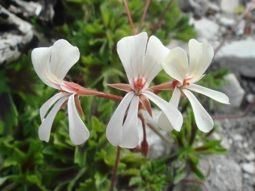 Pelargonium Alchemilloides - Indigenous South African Shrub - 5 Seeds
