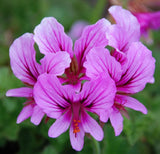 Pelargonium Suburbanum - Indigenous South African Shrub - 5 Seeds