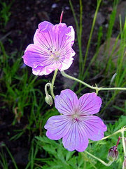 Geranium Caffrum - Indigenous South African Shrub - 5 Seeds