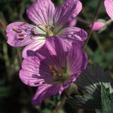 Geranium Pulchrum - Indigenous South African Shrub - 5 Seeds