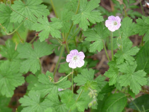 Geranium Schlechteri - Indigenous South African Shrub - 5 Seeds