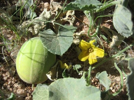 Cucumis Hirsutus - Indigenous South African Vine - 5 Seeds