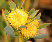 Leucadendron Glaberrimum - Indigenous South African Protea - 5 Seeds