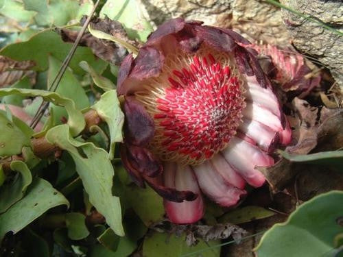 Protea Amplexicaulis - Indigenous South African Protea - 5 Seeds