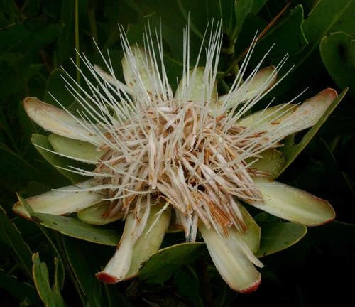 Protea Angolensis v Angolensis - Indigenous South African Protea - 5 Seeds