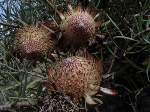 Protea Humiflora - Indigenous South African Protea - 5 Seeds