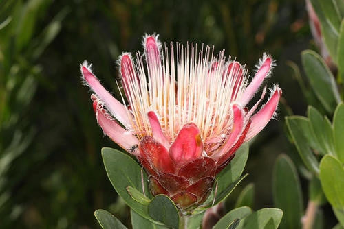 Protea Venusta - Indigenous South African Protea - 5 Seeds