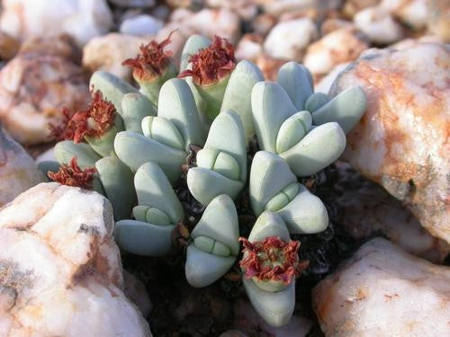 Antimima Dualis - Indigenous South African Succulent - 10 Seeds