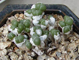 Antimima Evoluta - Indigenous South African Succulent - 10 Seeds