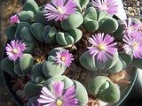 Gibbaeum Dispar - Indigenous South African Succulent - 10 Seeds