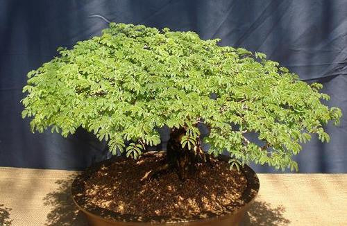 Acacia Burkei  - Indigenous South African Tree - 10 Seeds