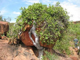 Ficus Ilicina - Indigenous - South African Tree - 10 Seeds