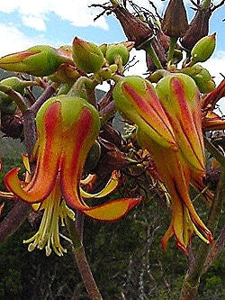 Cotyledon Velutina - Indigenous - South African Succulent - 10 Seeds