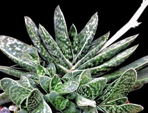 Gasteria Bicolor - Ox Tongue - South African Succulent - 10 Seeds