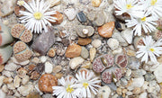 Lithops Karasmontana Mixed - Indigenous - South African Succulent - 10 Seeds