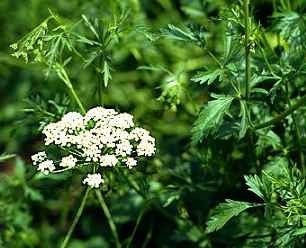 Anise - Pimpinella anisum - Herb - 20 Seeds