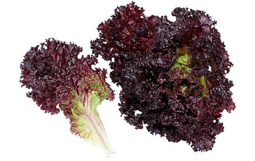 Lolo Rosso Darkness lettuce - Lactuca Sativa - Vegetable - 50 Seeds - ORGANIC