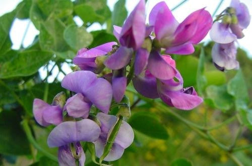 Dipogon Lignosus - Cape Sweetpea - South African Climbing Vine - 10 Seeds