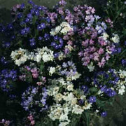 Anchusa Dwarf Mix - Annual - Anchusa Capensis - Beautiful Flowers - 60 Seeds