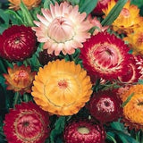 Helichrysum Swiss Giant Mix - Annual - Straw flowers - Beautiful Flowers - 200 Seeds