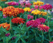Zinnia Giant Cactus Dahlia Flowered Mix - Annual - Zinnia Elegans - Beautiful Flowers - 100 Seeds