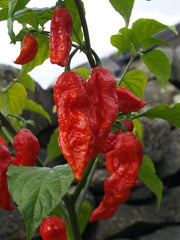 Bih Jolokia - Chilli Pepper - Capsicum Chinense - Hot & Rare - 5 Seeds