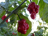 7 Pot Primo - Chilli Pepper - Capsicum Chinense - Hot & Rare - 5 Seeds