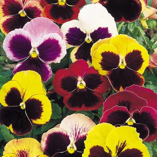 Pansy Swiss Giant Mix - Viola Hortensis - Annual Flower - 100 Seeds