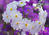 White Fairy Primrose - Primula Malacoides - Annual Flower - 50 Seeds