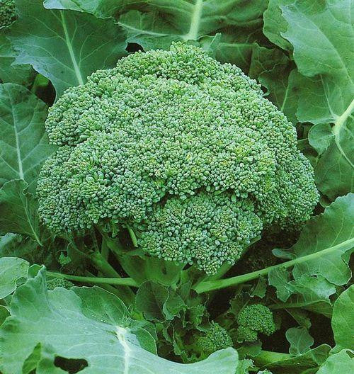 Green Sprouting Calabrese Broccoli - Brassica Oleracea var. italica - Vegetable - 200 Seeds