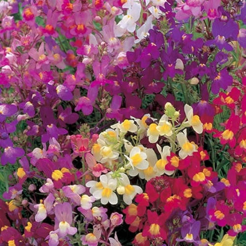 Linaria Fairy Bouquet - Linaria Maroccana - Annual Flower - 500 Seeds