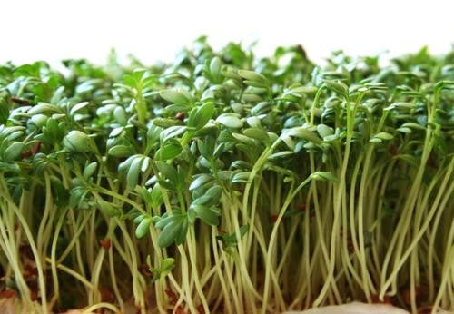 Garden / Pepper Cress - Lepidum Sativum - Herb Seeds - 250 Seeds