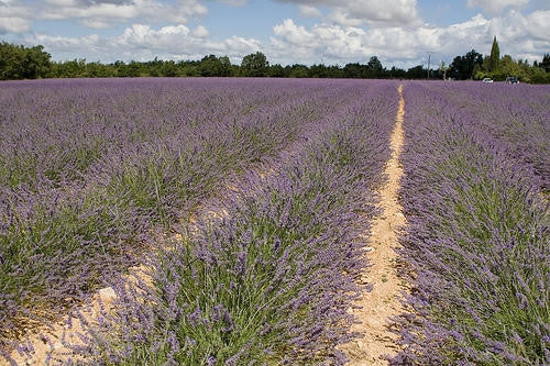 True English Lavender - Lavendula Angustifolia - Culinary & Fragrant Herb - 30 Seeds