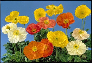 Poppy Artist Glory - Papaver Nudicaule - Annual Flower - 500 Seeds