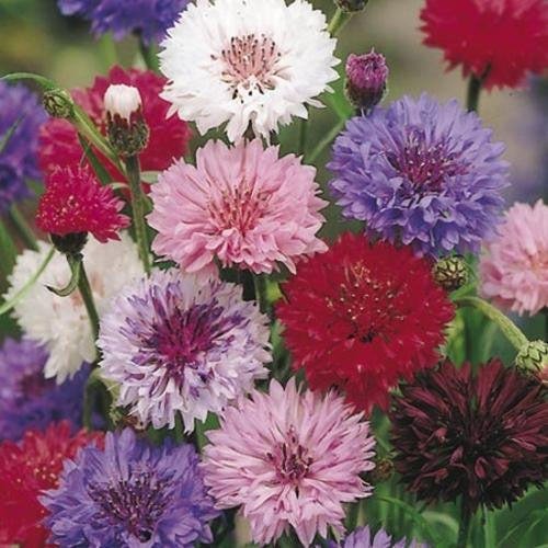 Cornflower Polka Dot - Centaurea Cyanus - Annual Flower - 100 Seeds