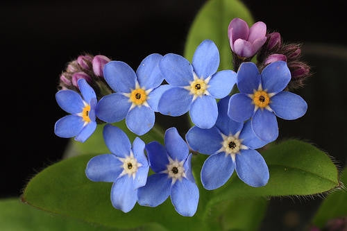 Forget Me Not Blue - Myosotis Sylvatica - Annual Flower - 200 Seeds