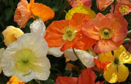 Iceland Poppies - Papaver Nudicaule - Annual Flower - 500 Seeds