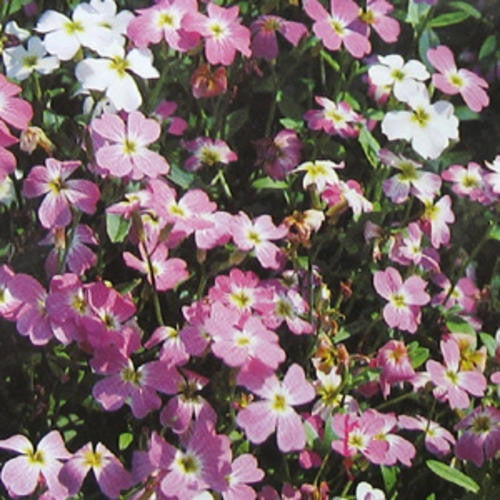 Virgina Mixed Stocks - Malcomia Maritima - Annual Flower - 350 Seeds