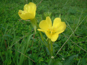 Evening Primrose - Oenothera Biennis - Annual Flower - 500 Seeds