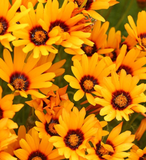 Ursinia Anthemoides Orange - African Daisy - Indigenous Annual - 10 Seeds