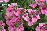 Diascia Pink Queen - Diascia Barberae - Annual Flower - 100 Seeds